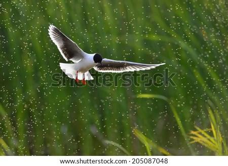 A Black headed Gull on flying.(Larus ridibundus). Backlight - stock photo