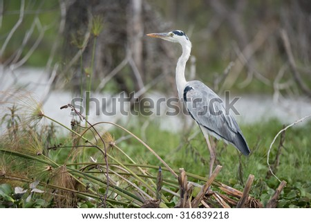 A black-headed heron is perched in profile on a tangle of branches with the lake in the distance. The heron has grey, white and black plumage and an orange beak. - stock photo