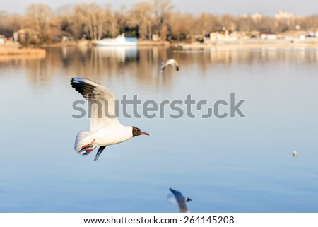 A black-headed seagull, Chroicocephalus ridibundus, with a ring and matriculation number is flying over the blue waters of the Dnieper river in Kiev the capitol of Ukraine - stock photo