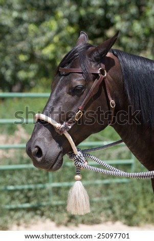 A black horse standing with a halter on.