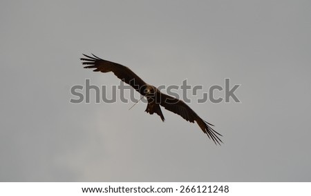 A black kite flying in the sky with a twig in its beak - stock photo