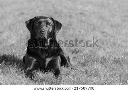 A Black Labrador Retriever Dog Outdoors.Processed in B&W.  - stock photo