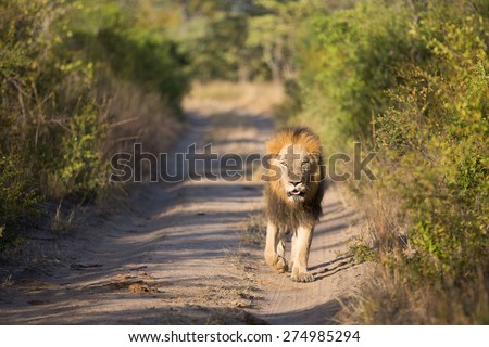 A black-maned lion walking toward the camera down a dirt road in full sunlight - stock photo