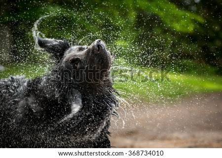 A black Newfoundland and Golden Retriever mixed-breed dog shakes water from his head. - stock photo