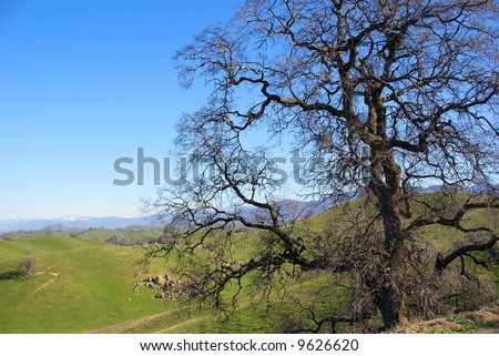 A Black Oak tree in the California foothills with the snow-caped Sierra Nevada Mountains just visible