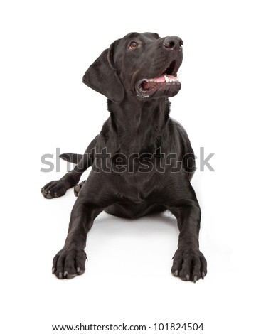 A black one year old Labrador Retriever dog laying down and looking up