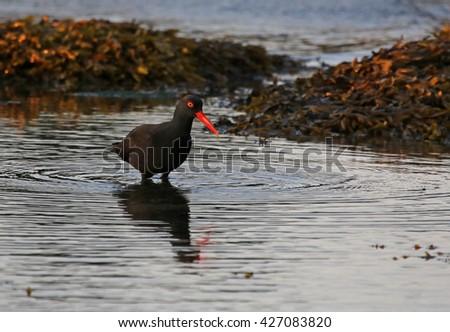 A Black Oystercatcher (Haematopus bachmani) fishing at dusk along the shores of Gabriola Island, British Columbia, Canada.  - stock photo