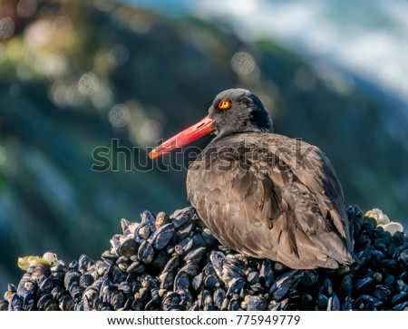 A Black Oystercatcher sits on a bed of mussels on the rocky shore along the Pacific Coast in Carmel by the Sea in California.