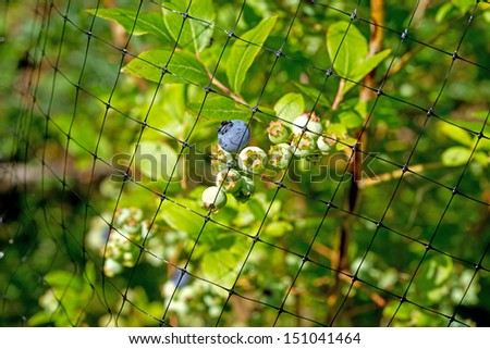 A black protective mesh covering blueberries from animals and birds. - stock photo