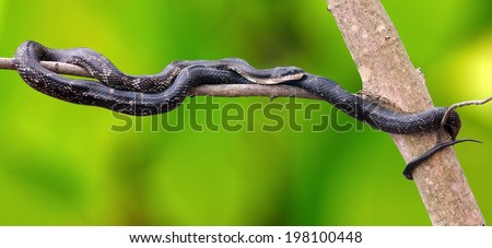 A Black Rat Snake (Elaphe obsolete) resting on the branch of a woodland maple tree. - stock photo