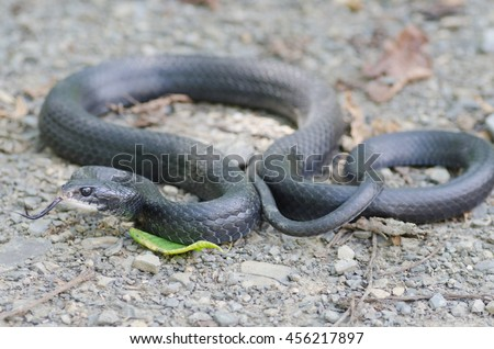 A black rat snake (Pantherophis obsoletus) found in the Shenandoah Valley in Virginia, USA.