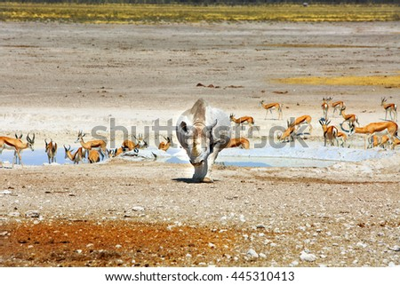 A Black Rhinoceros walking forwards with a herd of impala in the background in etosha national park