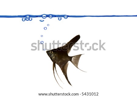 A black scalare is swimming. Blue waterline with air bubbles. - stock photo