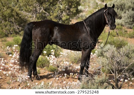 A black stallion with his bridle on and he is standing out in the sagebrush. - stock photo