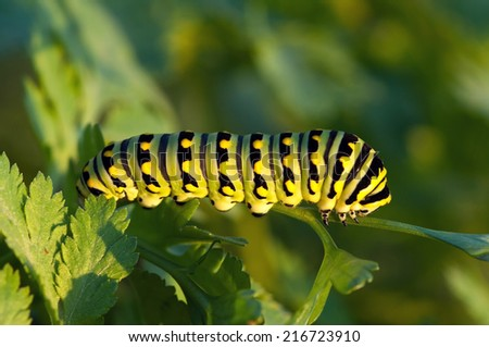A black swallowtail caterpillar feeds on a plant. - stock photo