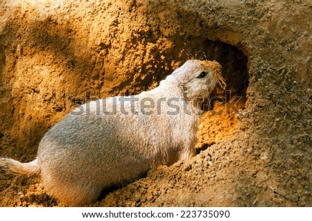 A black-tailed prairie dog and its burrow.