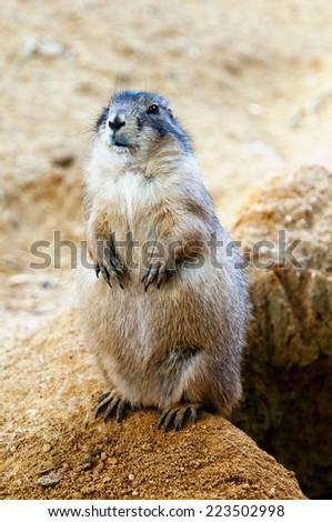 A black-tailed prairie dog standing near burrow. - stock photo
