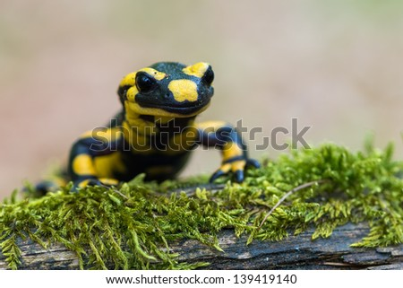 a black yellow spotted fire salamander - stock photo