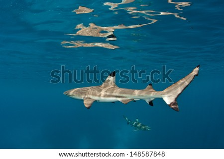 A Blacktip reef shark (Carcharhinus melanopterus) cruises through shallow water in a tropical lagoon.  This species of elasmobranch tends to spend much of its time in shallow waters near coral reefs. - stock photo