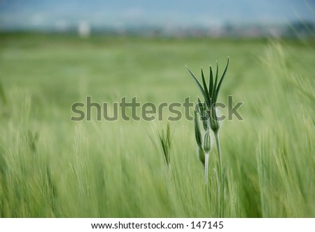 A blade of grass out in the field - stock photo