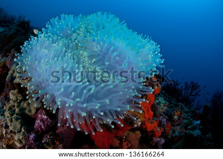 A bleached Magnificent anemone (Heteractis magnifica) grows on a coral reef off of North Sulawesi.  The anemone's symbiotic zooxanthellae have left the anemone due to high sea surface temperatures. - stock photo