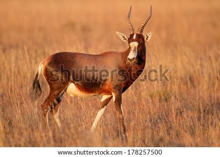 A blesbok antelope (Damaliscus pygargus), South Africa - stock photo