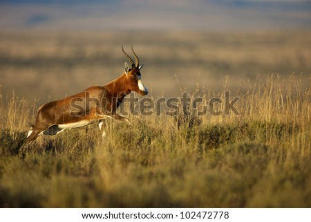 A Blesbok in the Mountain Zebra National Park