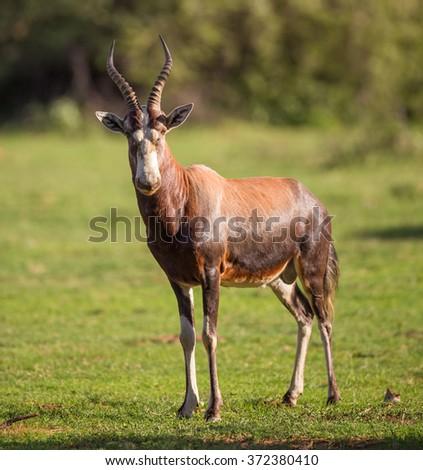 A Blesbok standing in a green field facing forward - stock photo