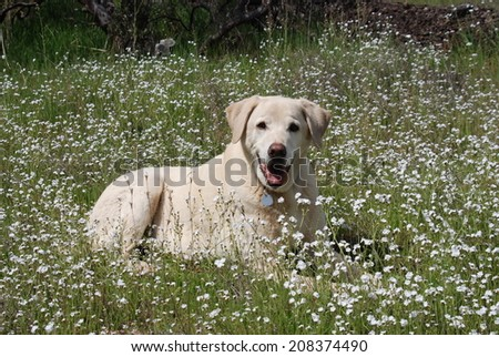 A blonde Labrador dog lies in a patch of white wildflowers.. - stock photo
