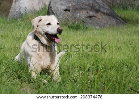A blonde Labrador dog lies in the grass near a granite boulder. - stock photo