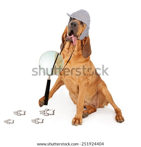 A Bloodhound dog dressed as a detective with a magnifying glass looking at paw prints - stock photo
