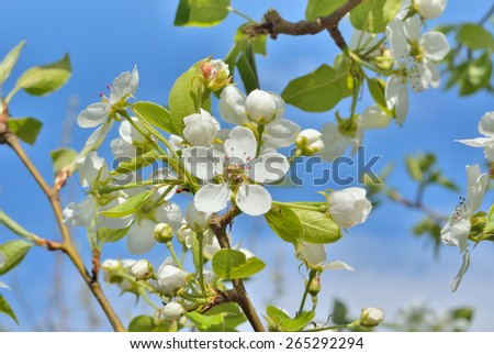 A blooming branch of a pear in orchard. - stock photo