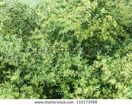 A blooming olive tree in spring - stock photo