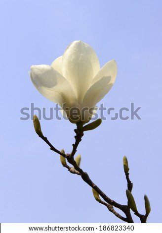 A blooming white magnolia flower  - stock photo