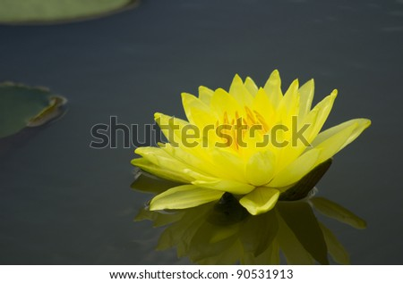 A blooming yellow lotus flower with yellow seed head - stock photo