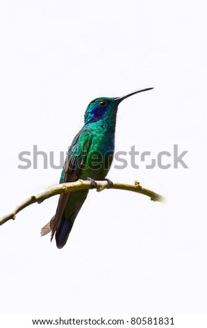 A blue and green hummingbird sits on a perch. - stock photo