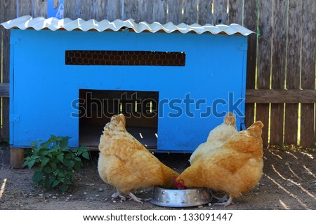 A blue chicken coop with three chickens eating out of a bowl