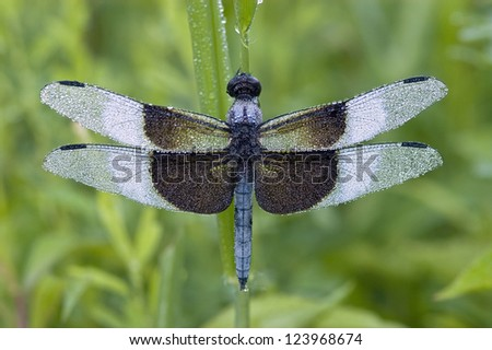 A blue dragonfly (Libellula luctuosa) or Widow Slimmer, Male, covered with morning dew - stock photo