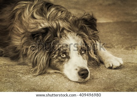 A blue-eyed, blue-merle, miniature austrailian shepard rest on the ground after running around the yard. Sepia image has added artistic texture added. - stock photo