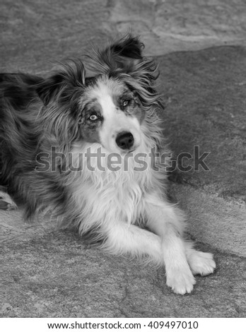 A blue-eyed, blue-merle, miniature Australian shepard rest on the ground after running around the yard. She sits with her paws crossed and looking at the camera. - stock photo