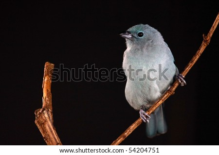 A blue-grey tanager (thraupis episcopus) perched on a branch.