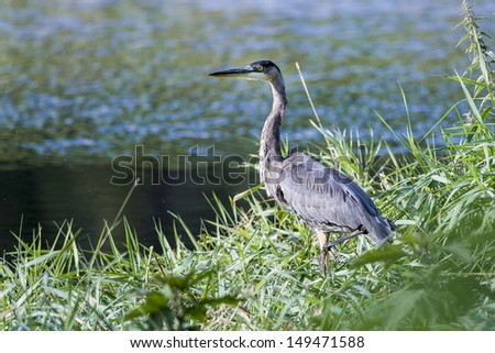 A blue heron sitting on the bank waiting for fish