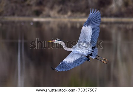A blue heron spreads its wings wide while flying low to the ground. - stock photo
