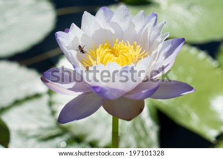 A blue lotus with a bee - stock photo