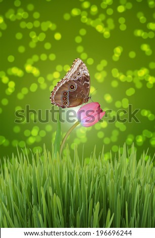 A Blue Morpho Butterfly Sitting on a Pink Tulip Against Dreamy Green Bokeh Background - stock photo