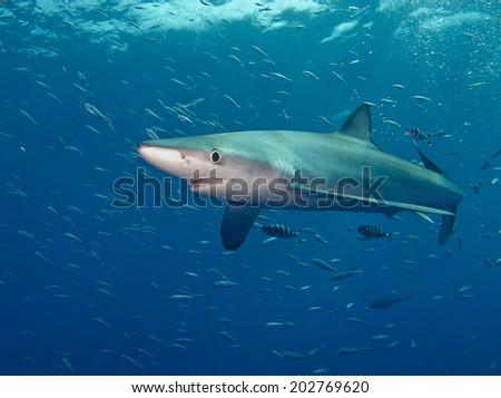 a blue shark (Prionace glauca) in Atlantic ocean near Pico (Azores Islands) - stock photo