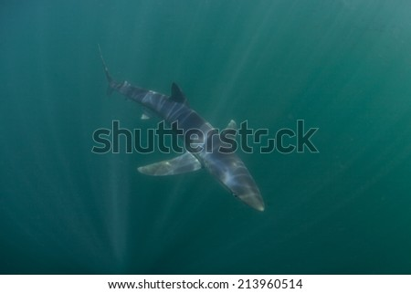 A Blue shark (Prionace glauca) swims through beams of sunlight in the cold waters of the North Atlantic Ocean. This beautiful oceanic predator is found worldwide. - stock photo
