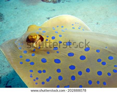 A blue spotted stingray (Taeniura lymma) swimming past my camera - stock photo