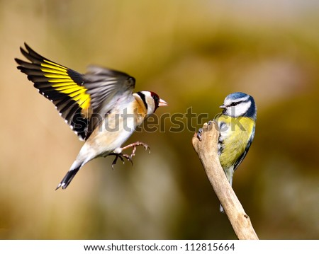 A Blue tit is perched on a bare stick as an annoyed Goldfinch fly's in and try's to displace the Blue tit from his perch - stock photo