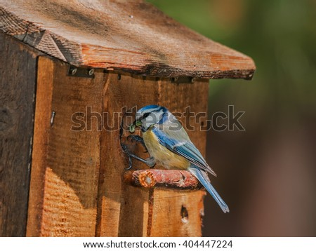A blue tit with a caterpillar at the entrance of a nest box - stock photo